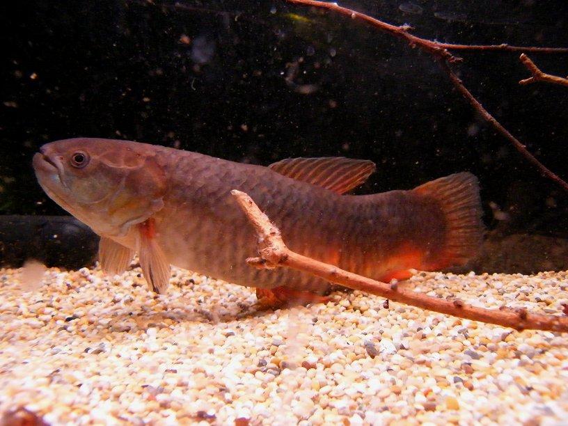 Erythrinus Sp. Peru