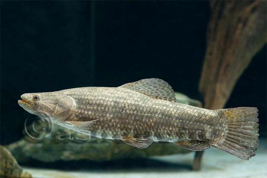 Hoplias lacerdae for Predatory freshwater fish